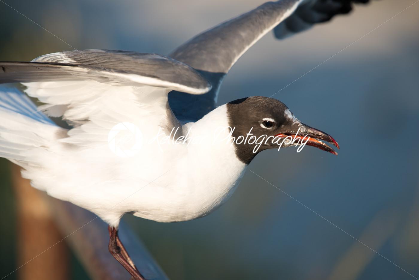 Seagull getting ready to take flight on the boardwalk in Ocean City, NJ - Kelleher Photography Store