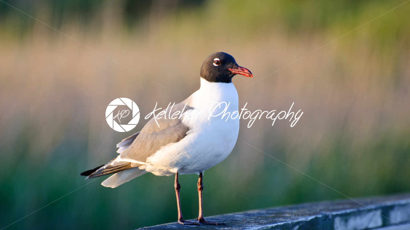 Sea gull watching for food opportunities while sitting on a pier post located in the outer banks of North Carolina - Kelleher Photography Store