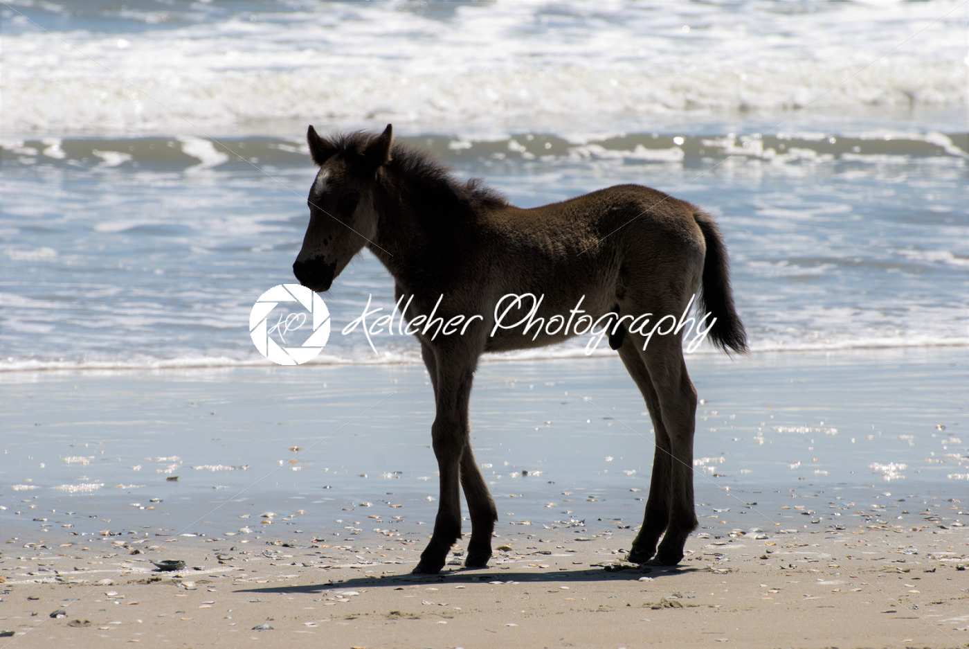 Wild Horses Walking Along The Beach In Corolla North
