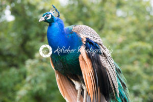 Close Up of Blue Peacock Outside - Kelleher Photography Store