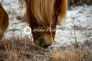 An Assateague wild horse in Maryland - Kelleher Photography Store