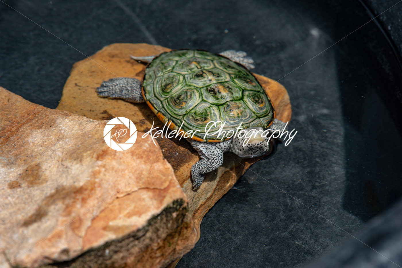 A Terrapin turtle on a rock - Kelleher Photography Store