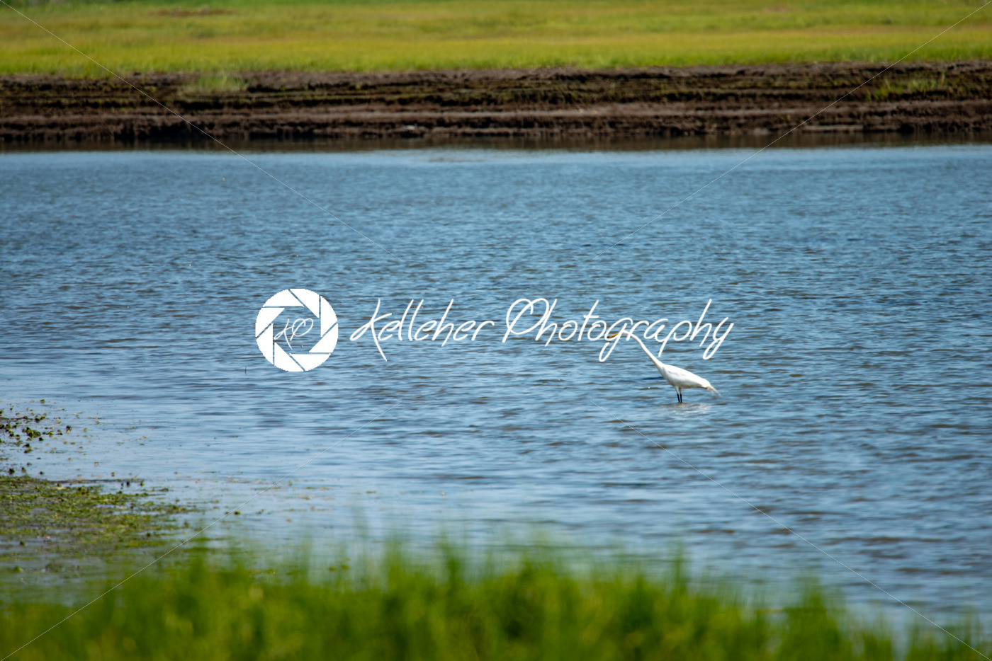 Snowy Egret wading across marsh along New Jersey shore - Kelleher Photography Store