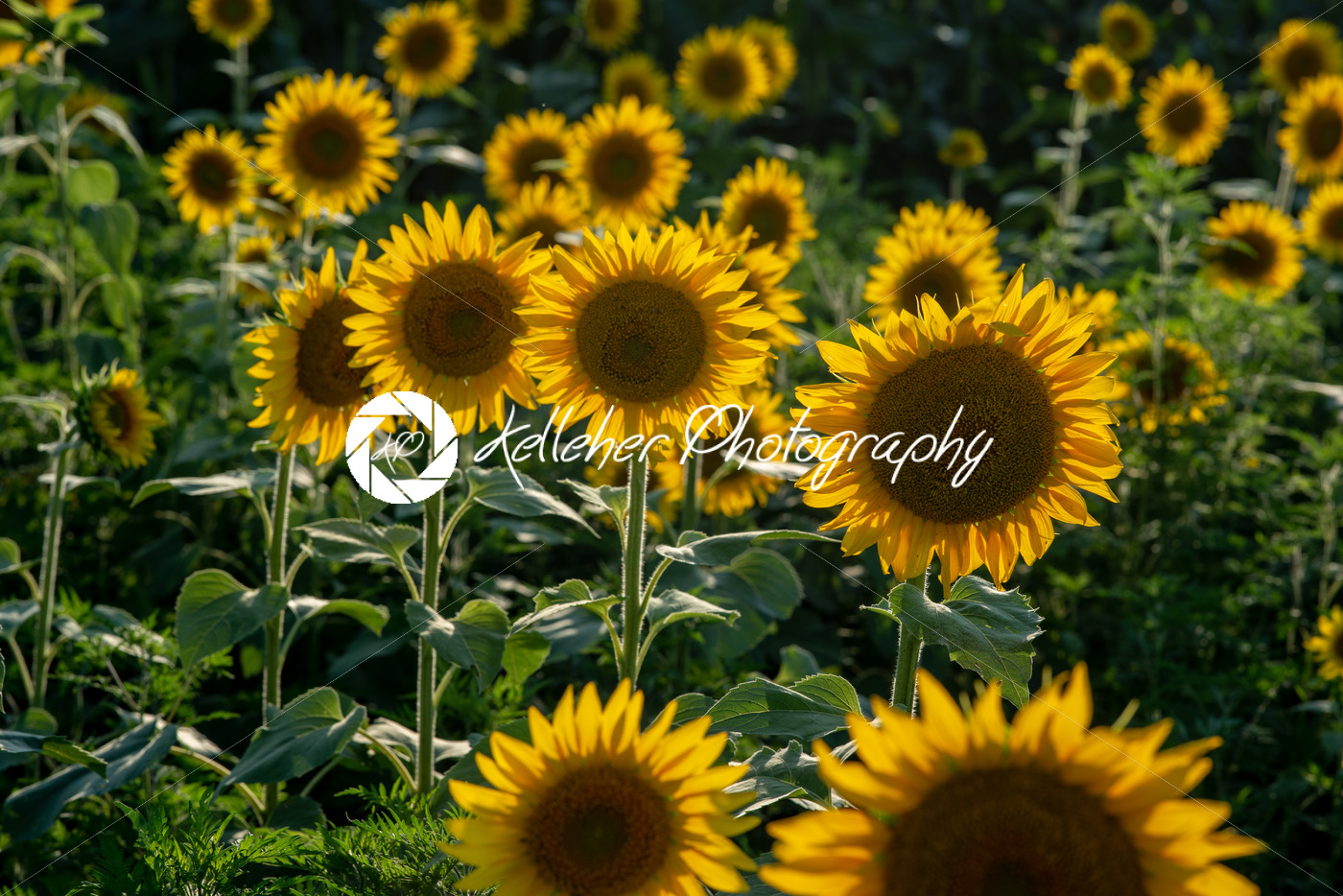 Sun flower Field during sunset hour - Kelleher Photography Store