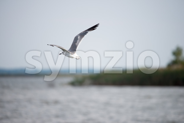 Seagull flying over the Chesapeake Bay around sunset Stock Photo