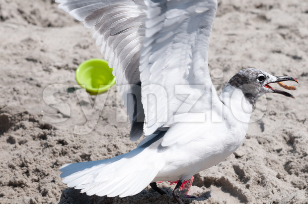 Seagull catching a pretzel in its mouth on the beach in Ocean City, NJ Stock Photo