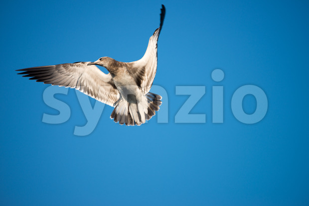 A Seagull in flight against a cloudless blue sky background