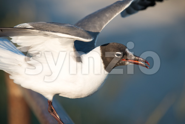 Seagull getting ready to take flight on the boardwalk in Ocean City, NJ Stock Photo