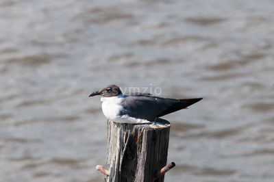 Seagull resting on a pole near Fort Delaware, DE Stock Photo