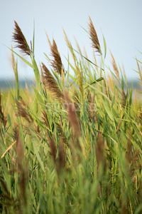 Thickets of reeds on Maryland Eastern Shore near Rock Hall, MD Stock Photo