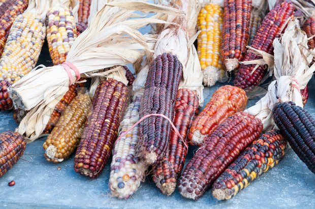 Decorative corn on the autumn market Stock Photo