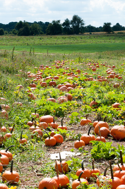 Various Pumpkins in green field during fall Stock Photo