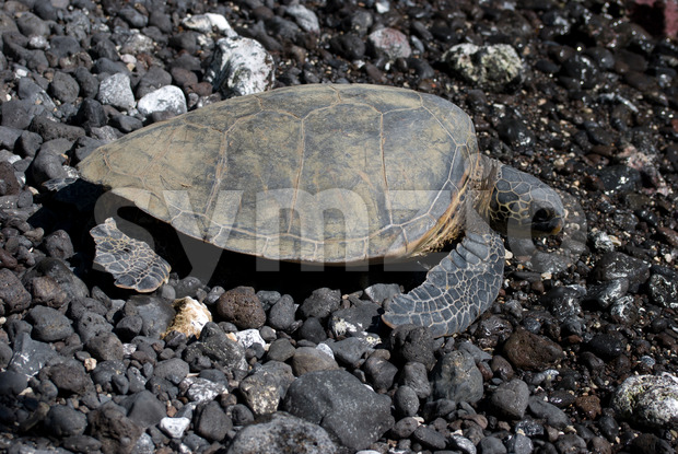 Close up of sea turtles resting on a rocky sand beach in Maui Hawaii Stock Photo