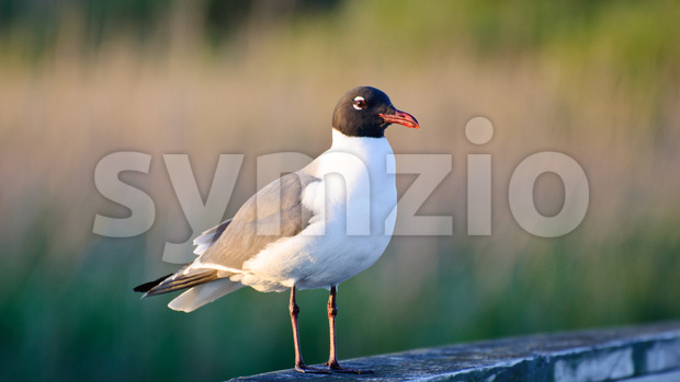 View of Sea gull watching for food opportunities while sitting on a pier post located in the outer banks of ...