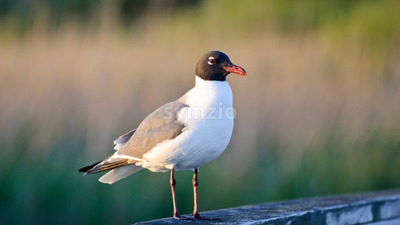 Sea gull watching for food opportunities while sitting on a pier post located in the outer banks of North Carolina Stock Photo