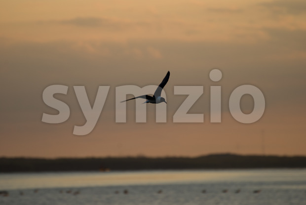 View of The Little Gull Larus minutus in flight on sunset natural background