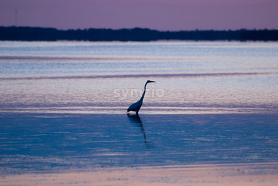 Egret in sound at sunset near Currituck, Outer Banks, North Carolina Stock Photo