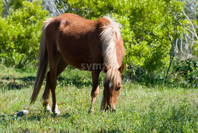 Beautiful wild stallion grazes in the sand dunes of Corolla's Currituck National Wildlife Refuge Stock Photo