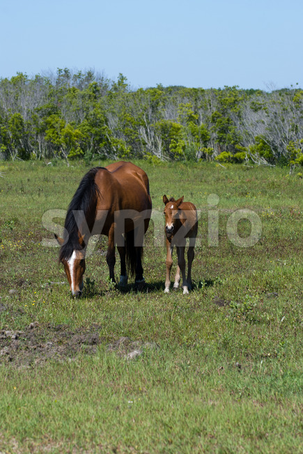 View of Beautiful wild stallion grazes in the sand dunes of Corolla's Currituck National Wildlife Refuge