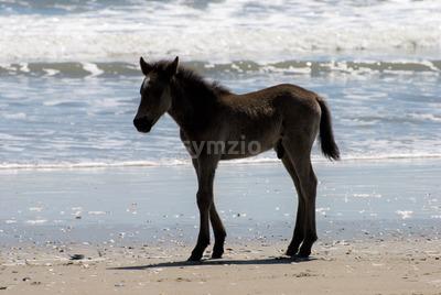 Wild horses walking along the beach in Corolla, North Carolina Stock Photo