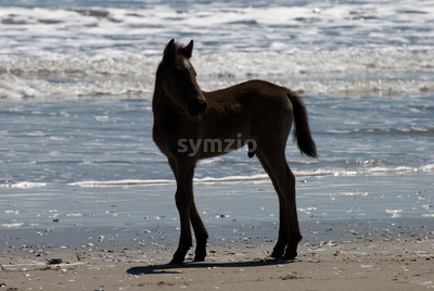 Wild horses walking along the beach in Corolla, North Carolina Stock Photo