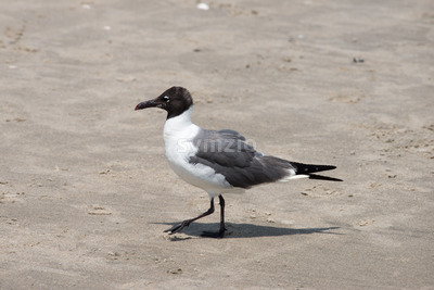 Seagull walking along on the beach Stock Photo