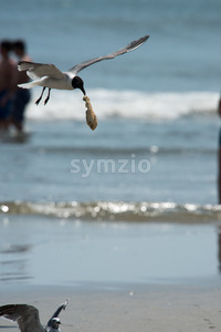 Seagull on the beach flying with food hanging out of its mouth Stock Photo
