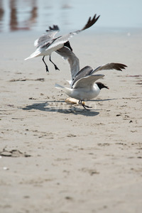 Seagull on the beach flying fighting over food Stock Photo