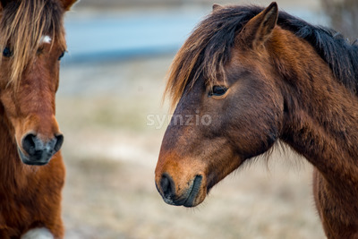 An Assateague wild horse in Maryland Stock Photo