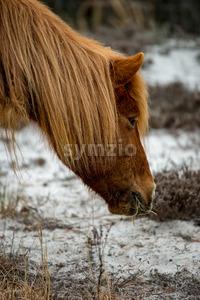 An Assateague wild horse in Maryland Stock Photo