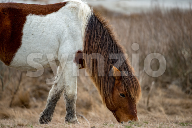 View of an Assateague wild horse in Maryland.