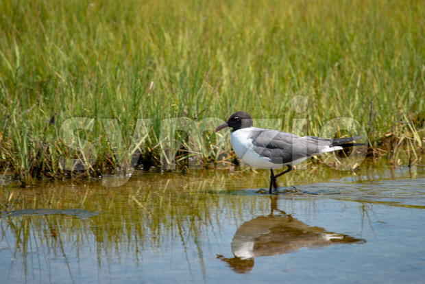 View of a shore bird, the Laughing Gull Leucophaeus atricilla has a call that sounds like laughter