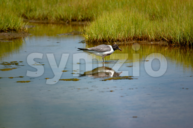 A shore bird, the Laughing Gull Leucophaeus atricilla has a call that sounds like laughter Stock Photo