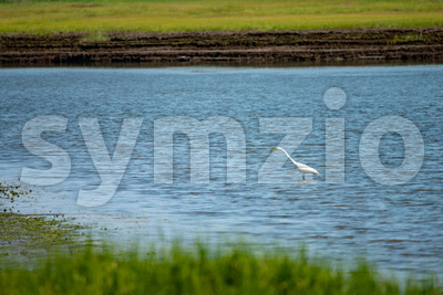 Snowy Egret wading across marsh along New Jersey shore Stock Photo