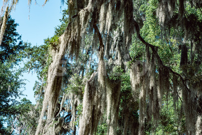 Live Oak with Spanish Moss tree in Bonaventure Cemetery Savannah Georgia Stock Photo